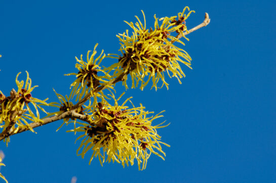 witch hazel skincare how to use